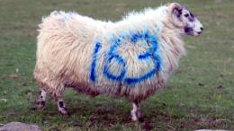 Se sentir compter stress les moutons