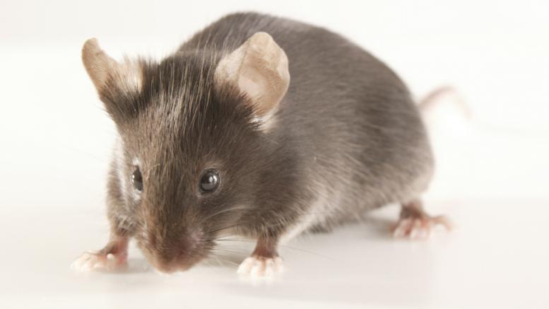 La souris du fils du cousin, Patsou, quelques jours avant sa mort