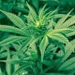 La légalisation du pot pourrait freiner l'expansion de Brossard