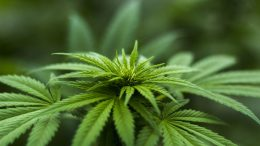 Avec la légalisation du cannabis, les facteurs deviendront de plus gros dealers que les Hells