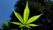 Pénurie de cannabis à la SQDC, la CAQ songe à appeler les Hells en renfort
